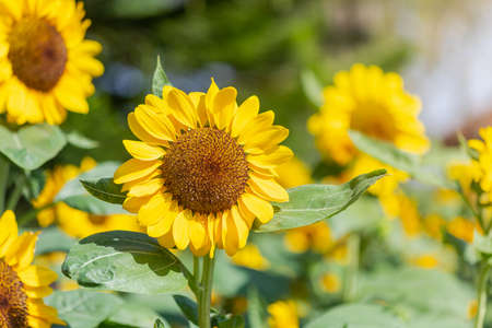 The sunflower is blooming Beautiful yellow In the morning sun blurred the agricultural gardening background