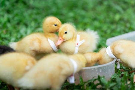Ducklings with yellow Many cute ones Relaxing on the lawn Standard-Bild