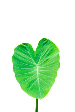 Taro leaves, Colocasia esculenta Plant green leaf Use it as an illustration in agriculture. Standard-Bild