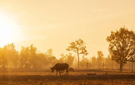 Morning sun Shining through the beautiful scenery And buffalo in the fields of rural Thailand Standard-Bild