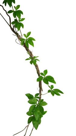 야생 나팔꽃 등반 클리핑 패스 포함하는 흰색 배경에 고립 트위스트 정글 등나무에 등산을 나뭇잎