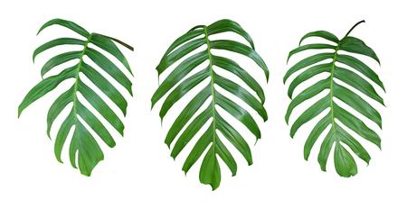 モンステラ植物の葉、クリッピング パスが含まれている、白地に分離された熱帯の常緑つる植物