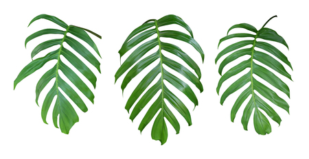 Monstera Pflanze Blätter, die tropische immergrüne Reben isoliert auf weißem Hintergrund, Clipping-Pfad enthalten Standard-Bild - 80864889