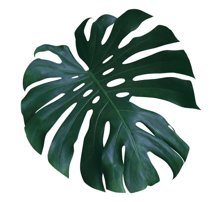 モンステラ植物葉、クリッピング パスを含める、白地に分離された熱帯の常緑つる植物 写真素材