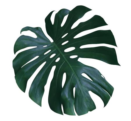 Monstera hoja de la planta, la vid siempre verde tropical aislado en fondo blanco, trazado de recorte incluido Foto de archivo - 81606990