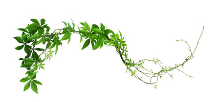 Wild morning glory leaves jungle vines isolated on white background, clipping path included Stock Photo