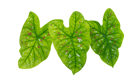 leafed: Heart shaped green tropical foliage plant leaves isolated on white background, clipping path included