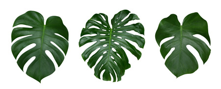 Monstera plant leaves, the tropical evergreen vine isolated on white background, clipping path included