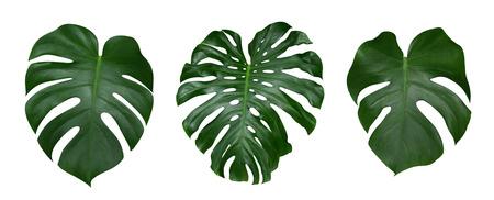 Monstera pianta lascia, la vite tropicale sempreverde isolato su sfondo bianco, tracciato di ritaglio incluso Archivio Fotografico - 84197385
