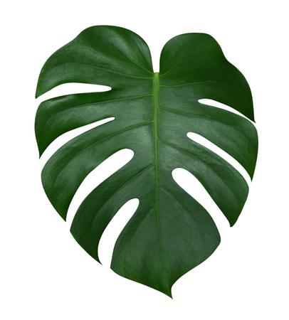 Feuille de plante Monstera, la vigne à feuilles persistantes tropicale isolée sur fond blanc, un tracé de détourage inclus Banque d'images
