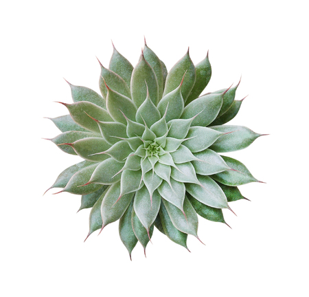Cactus plant top view isolated on white background, clipping path included