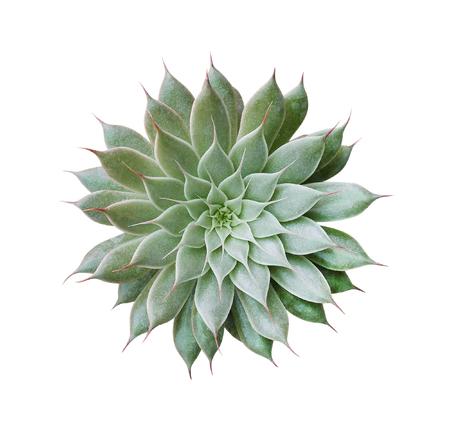 Vista superior de la planta de cactus aislada sobre fondo blanco, trazado de recorte incluido Foto de archivo - 84943369