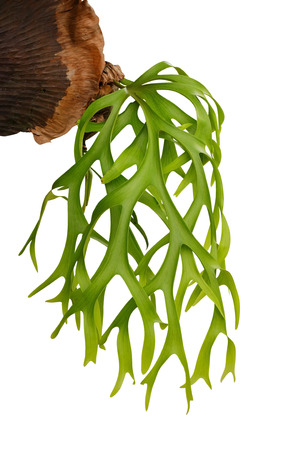 Staghorn fern, ornamental tropical plant isolated on white background, clipping path
