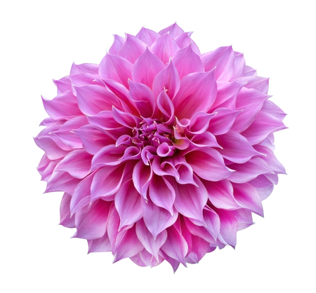 Pink Dahlia isolated on white background, clipping path included