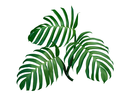 Three Monstera plant leaves, the tropical evergreen vine isolated on white background, clipping path included