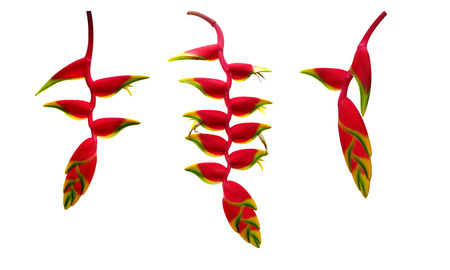 Red Heliconia rostrata (hanging lobster claw or false bird of paradise) tropical flower plant set isolated on white background