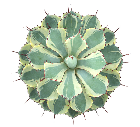 Cactus succulent plant top view isolated on white background, clipping path included