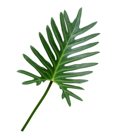 Green Philodendron Xanadu leaf tropical ornamental plant isolated on white background, clipping path included