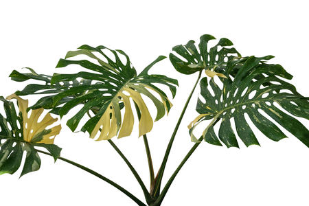 Tropical rainforest green Monstera Giant Yellow Variegated jungle leaves vine plant rare Philodendron isolated on white background, clipping path incuded. Stock Photo