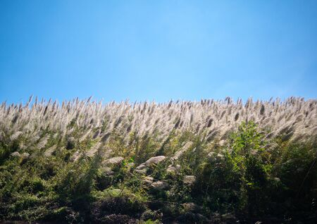 The Pampas grass was blown by the wind over blue sky background