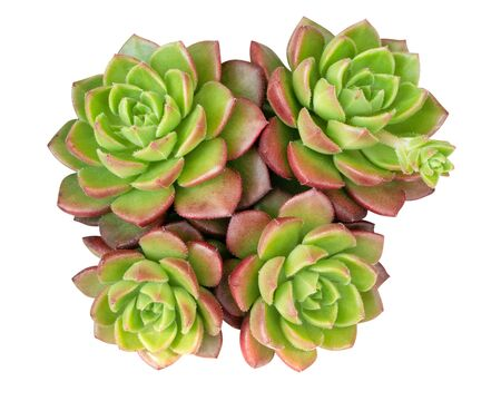 Green succulent cactus flower tropical plant top view isolated on white background