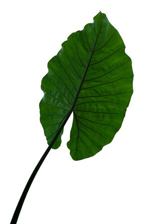 Elephant Ear Caladium, heart shaped green leaf isolated on white background, clipping path included