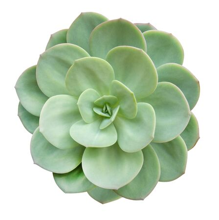 Green succulent cactus flower tropical plant top view isolated on white background, clipping path included