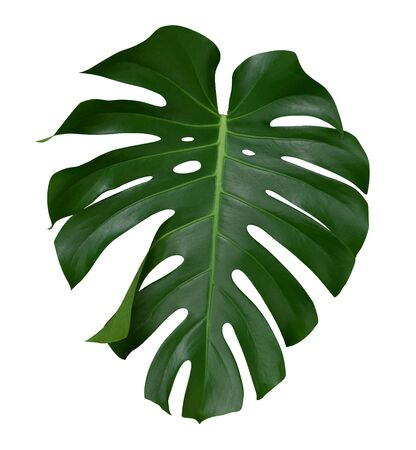 Monstera leaf, the tropical plant evergreen vine isolated on white background Reklamní fotografie