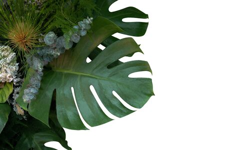 Green monstera philodendron tropical plant leaves vine on white background with copy space Reklamní fotografie