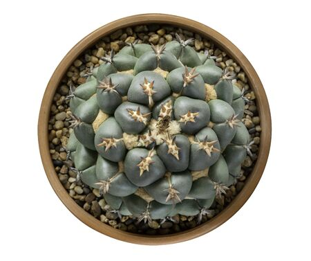 Succulent cactus flower tropical plant in pot top view  on white background,   included
