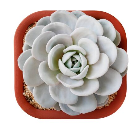 Succulent cactus flower tropical plant in square plastic pot top view isolated on white background, clipping path included