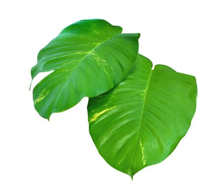 Tropical Australian native monstera or golden photos, ivy arum isolated on white background, clipping path incouded Reklamní fotografie