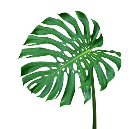 Green monstera leaf with stalk, the tropical plant evergreen vine isolated on white background, clipping path include Reklamní fotografie
