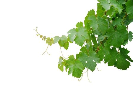 Grape leaves vine branch with tendrils isolated on white