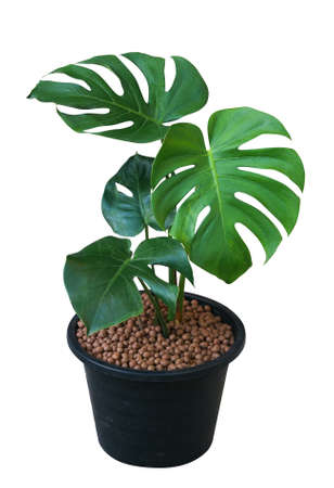 Green leaves Monstera tree in black plastic pot, tropical plant evergreen vine isolated on white background
