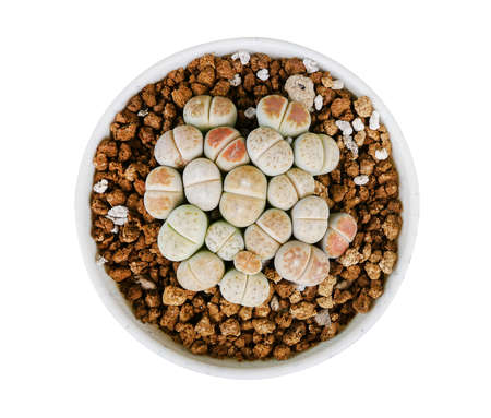 Lithops is a genus of succulent plants in white cray pot isolated on white