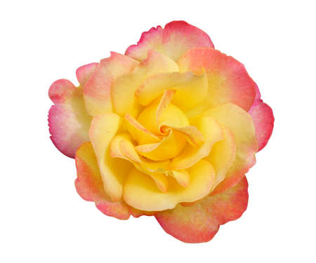 Yellow rose petals pink border flower top view isolated on white background