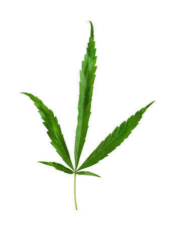 Green cannabis leaves or hemp plant isolated on white background, clipping path included