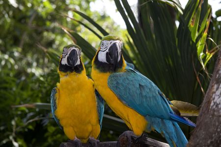Two parrots from Mexico in the jungle photo
