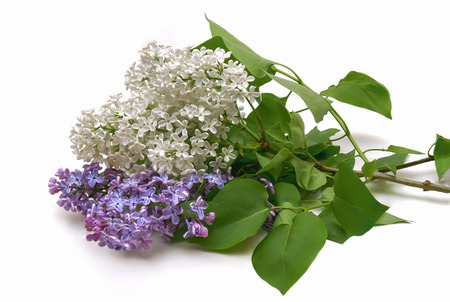 Lilac bouquet lying on a white table