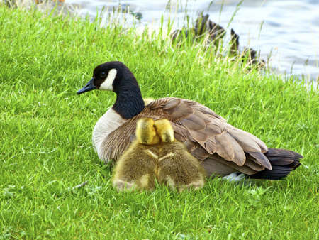 brood: Cute brood with mother duck