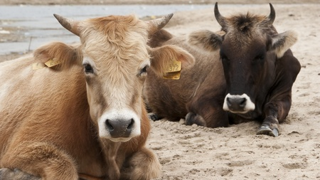 Dairy cows (Bos taurus) resting on beach - Lake - Nature - Animal - Bull - Rumination