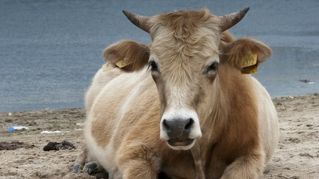 Dairy cows (Bos taurus) resting on beach - Lake - Nature - Animal - Bull - Rumination  photo