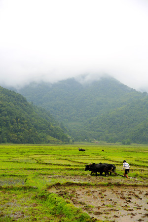 farmer plowing with ox cart at farm in pokhara, nepal photo