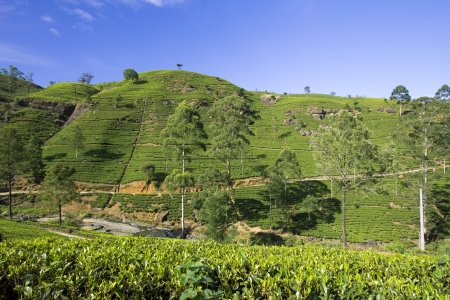 Sri Lanka tea garden mountains in nuwara eliya photo