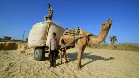 Loading straw onto camel-driven cart, Pushkar, Rajasthan, India