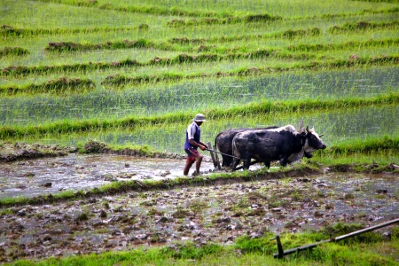 farmer plowing with ox cart at farm in pokhara, nepal