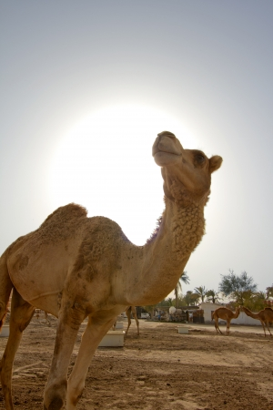 Camel in desert photo