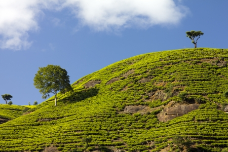 Sri Lanka tea garden mountains in nuwara eliya photo