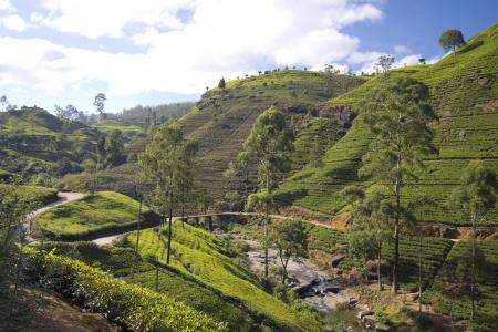 tea plantations: Sri Lanka tea garden mountains in nuwara eliya Stock Photo